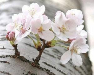 Blossom (1)