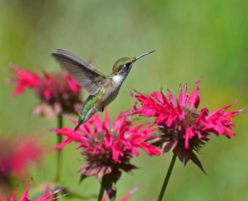 Hummingbird (1)
