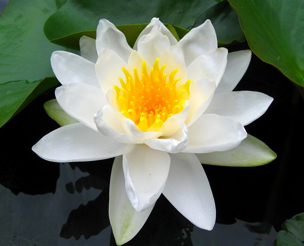 big white waterlily