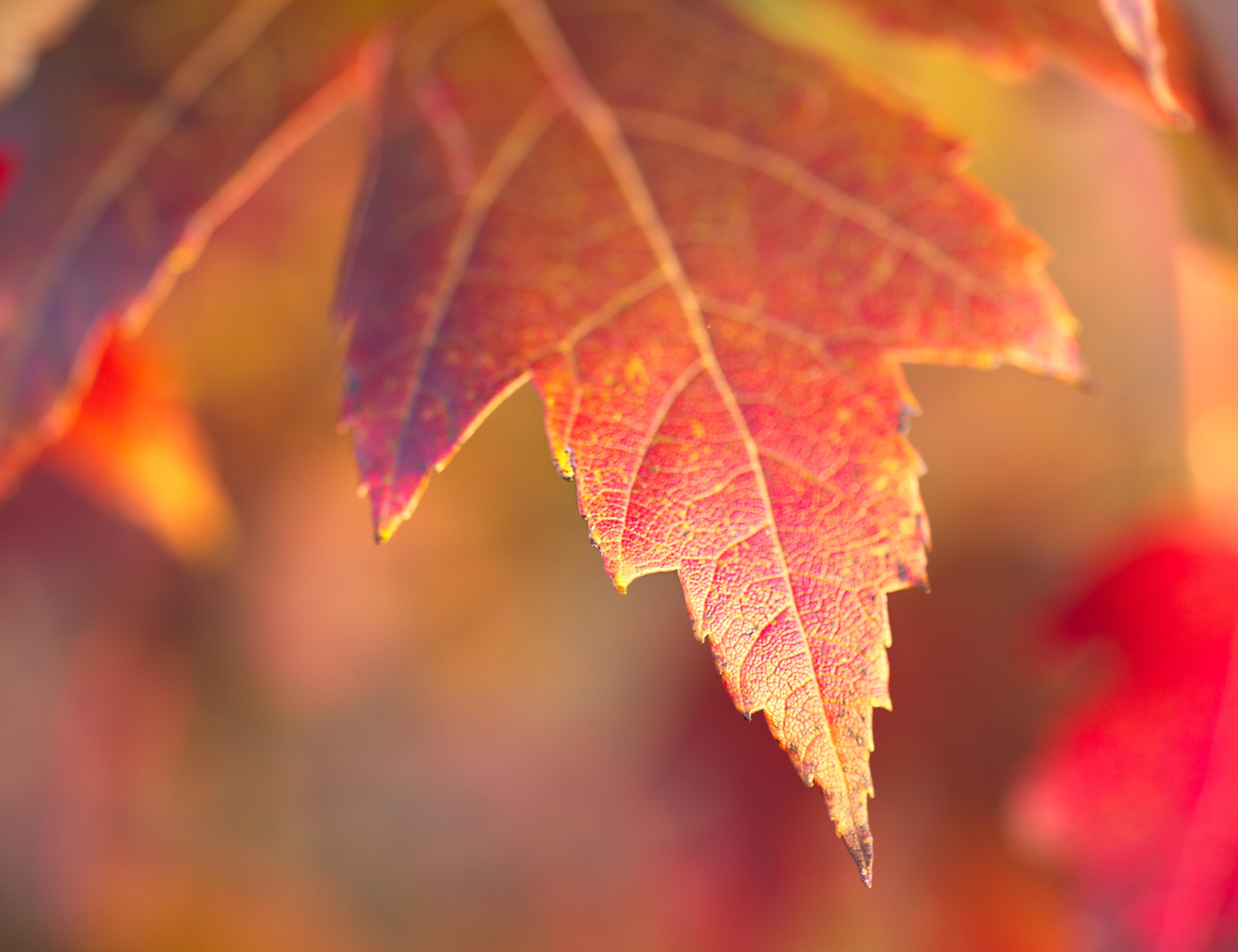 maple leaf2